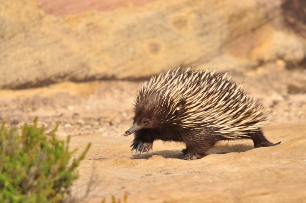 Short-beaked echidna. Photo by Adrian van der Stel.