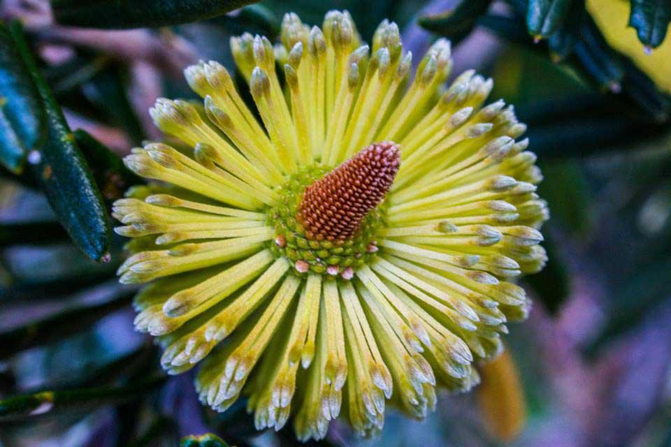 Banksia-marginata