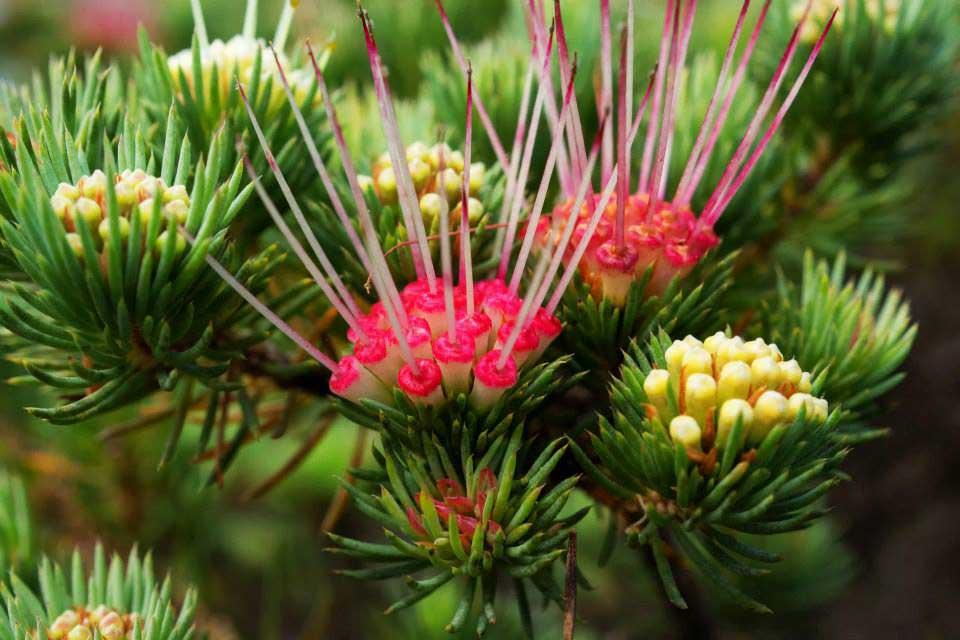 Darwinia-fascicularis
