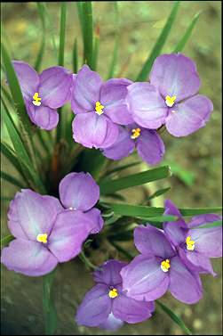 Patersonia-sericea