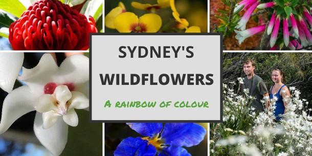 Sydney wildflowers